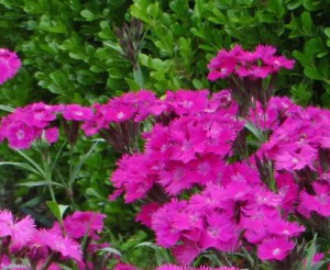 dianthus edit